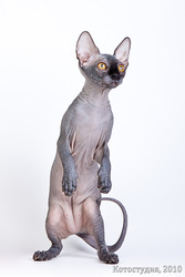 Котята породы канадский сфинкc