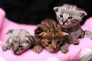 exotic kittens for sale (serval,  chassie F1 , savannah F1-F3 , bengal ,