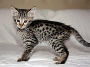 cute serval-ocelot-asian leopard cats