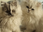 luxruious Persian kittens for sale (tea cup)