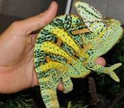 Chameleons and Varanus species