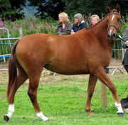 cute and lovely horse for adopcion