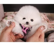 Sasha Is A Teacup Pomeranian Puppy And She Will Love To Join Your Home