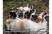 Adorable Jack Russell puppies for rehome