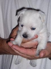 For Sale Westie pups