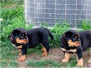 Charming Rottweiler Puppies For Adoption to any pet loving home