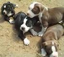 5 Charming American Pitbull Puppies For Sale