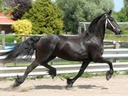 Well Trained Friesian Gelding Horse (ready To Go)*