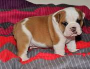 Gorgeous English Bulldog puppies for sale.