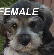 Miniature Schnauzer pups...-- 4 Beuatiful  femalse-raised in our home