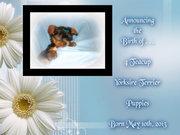8th Gen Yorkshire Terrier puppies