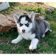 Siberian Husky Puppies for new homes