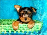 Breath Taking Yorkie Puppies TEXT (575) 291-1031