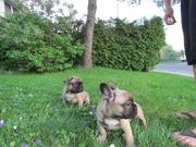 Cute Fawn French Bulldog Pups