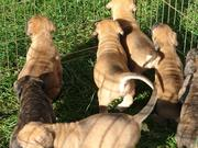 Purebred Mastiff Puppies