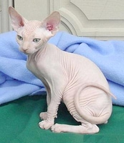 CFA Sphynx Kittens Ready To Go To New  Home