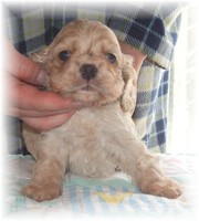 American Cocker Spaniel Puppies for Sale!