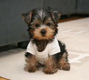 Trained Teacup Yorkie Puppies Text