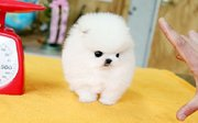 Cute and Charming Pomeranian Puppies Available Text (567) 698-8702