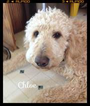 F1B Goldendoodle Puppies for Sale