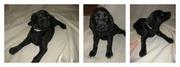Hybrid Hunting Dog (Weimaraner X Redbone Coonhound)