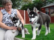 blue eyes male and female Siberian Husky puppies TEXT  (731) 433-0276)