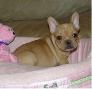 cute male and female french bulldog puppies