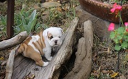 Healthy Miniature Bulldog puppies They come with full AKC Register