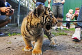 Low cost Big Cats,  kittens, Cheetah, Tiger and Fennec Fox, chimpanzee For