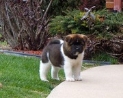 Good CKC register Akita puppies for sale