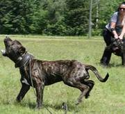 Presa Canario male pups,  Ironbull bloodline