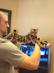 Cute Bengal Kittens for sale Text