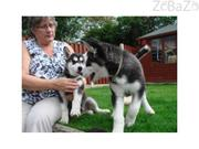 Female and Male Siberian Husky Puppies for adoption text (860) 937-11