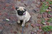 MOPS PUPPIES FOR THE PERFECT HOME