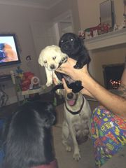 Pure bred Labrador puppies ready