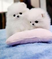 Beautiful Toy Pomeranian puppies