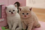 Lovingly Home Reared Quality Bsh Kittens