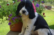 English Springer Spaniel puppies for rehoming