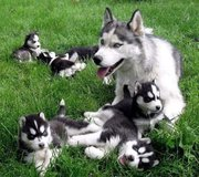 Siberian Husky Puppies for sale Ready Now