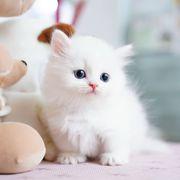 Outstanding munchkin kittens for sale