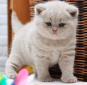 British shorthair kittens for sale - Cats for sale,  kittens for sale